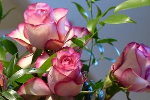 四季咲きバラの手入れ!夏の剪定方法