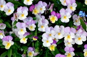秋に種まきで春に花を咲かせる!セルトレイでビオラ、パンジーの育て方