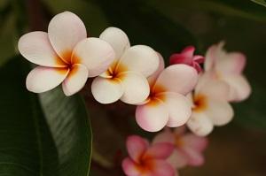 プルメリアの育て方!花が咲かないのは?冬越しの方法