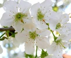 桜の鉢植えの育て方