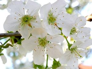 桜 鉢植えの育て方!冬に植えつけ