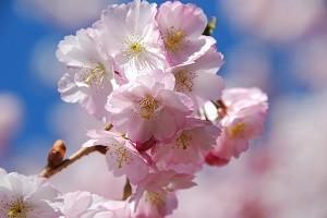 桜の育て方