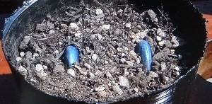ソラマメの種まき