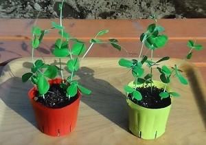 グリーンピース&スナップエンドウの苗