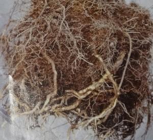 根の整理をした株