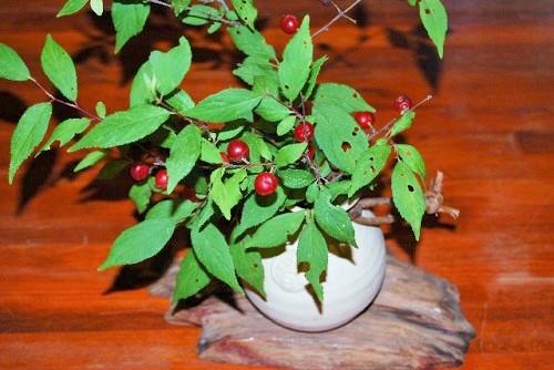 ミニ盆栽の作り方