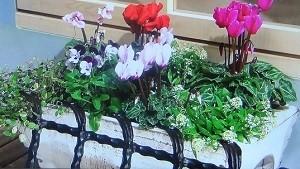 ビオラ、ガーデンシクラメン、アリッサムの寄せ植え