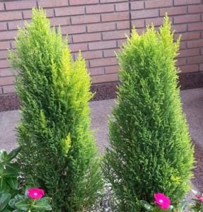 ゴールドクレスト (植物)の画像 p1_34