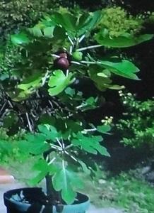 鉢植えのイチジク