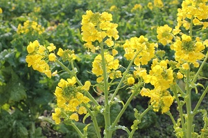 菜花(ナバナ)菜の花の栽培、育て方