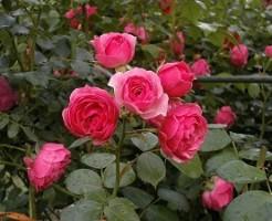 庭植えのバラ