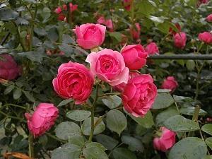 庭植え、地植えのバラは冬 剪定の前に枝をチェックして環境を改善!
