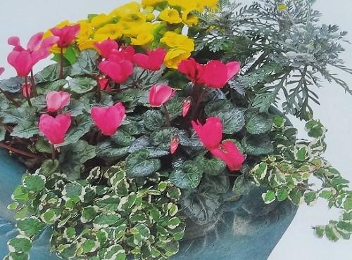 ガーデンシクラメンの鉢植えの育て方!夏越し・植え替え方法