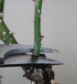 バラの剪定 細い枝