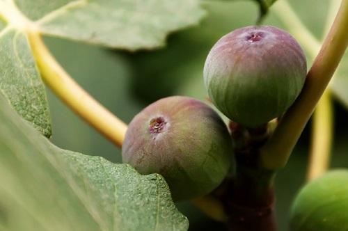 鉢植えでベランダでも育てられるイチジク!