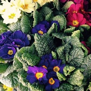 プリムラの種類と育て方!植え替えや肥料、花がら摘み