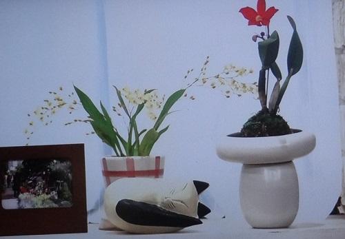 ミニ洋蘭の育て方!栽培・管理のポイント