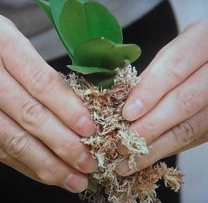 ミニ洋蘭の植え替え