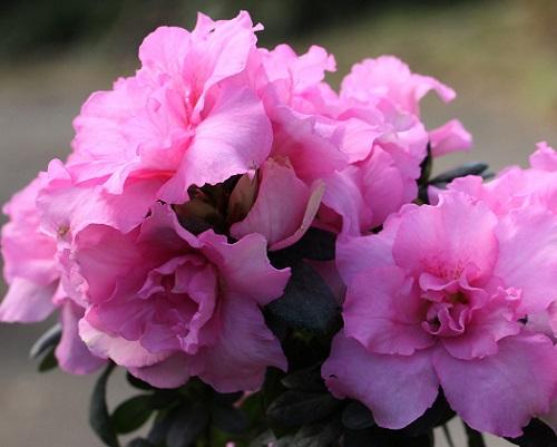 アザレアの育て方!花が咲かない理由は?庭植えできる?