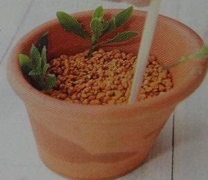 オステオスペルマムのさし芽