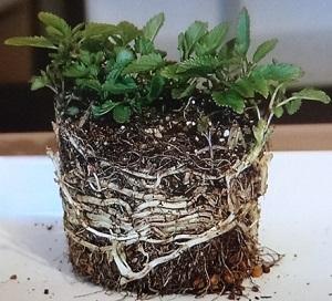 地下茎の株分け