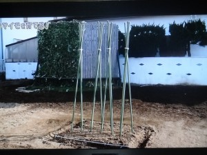 長芋の支柱の立て方