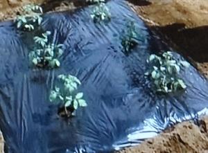 ミニトマトの苗の植えつけ