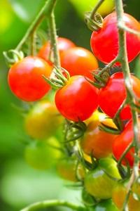 ミニトマトの栽培・育て方!露地栽培(畑)で苗の植えつけ