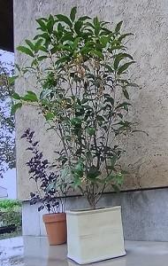 鉢植えのキンモクセイ