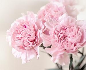四季咲きカーネーション!秋からの育て方・鉢増し・植え替え【趣味の園芸】