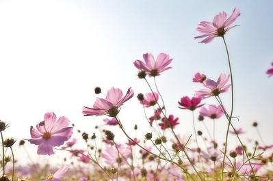 【趣味の園芸】コスモスの悩み!花が咲かない&倒れてしまう