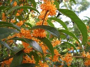 【趣味の園芸】キンモクセイの花が咲かない原因は?