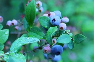 【趣味の園芸】ブルーベリーの実つきのよくなる育て方!