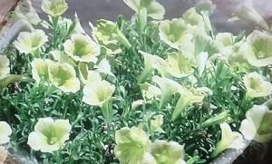 【趣味の園芸】ペチュニアの育て方!秋にもう一度咲かせる方法