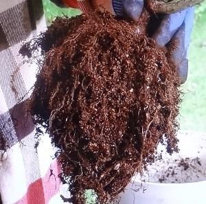 鉢替え、根鉢を崩す