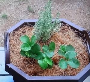 イチゴとラベンダーの寄せ植え